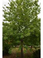 Quercia Albero di Quercia Ilex alberi piante da giardino altezza 170/200 cm