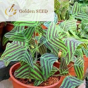 100 Seeds Christia Obcordata Green Brown Rare Bat Grass Ornamental Garden Plants