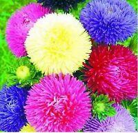 Beautiful Aster Chrysanthemum Flower 100 SEEDS  --BUY 4 ITEMS FREE SHIPPING