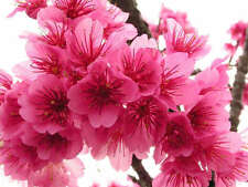 20 Seeds of Japanese Cherry Blossom Tree Pink Flowers Prunus Serrulata Fragrant