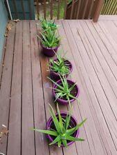 1 YOUNG ORGANIC ALOE VERA PLANT MEDICINAL PLANT ROOTED