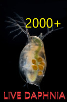 2000+ LIVE Daphnia Magna Starting Culture Green Water Breeding Priority Ice Pack