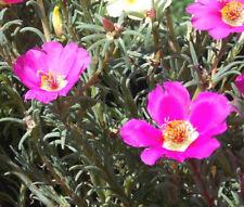 PURSLANE TOUCAN FUCHSIA Portulaca Oleracea - 50 Bulk Seeds