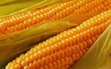 10 Graines BIO de Maïs Doux Jaune Variété Ancienne /Excellente Qualité Gustative