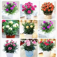 100 Pcs Seeds Carnation Bonsai Dianthus Caryophyllus Rare Mother Love Flower