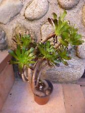 pot  plante artichaut tortueuse  + plantes faciles reprise 0ff+laurier du jardin