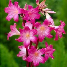Amaryllis bulbs Red and pink mixed 8 to 11 CM 5 bulbs for 9.99