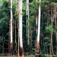Rose Gum or Flooded Gum Seed Large Native Coastal Tree Eucalyptus grandis