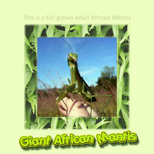 Giant African Praying Mantis - Educational and Easy To Care For Pet- Gets Big!