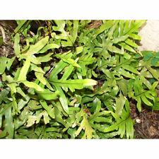 Kangaroo Paw Fern Plant 3' Rooted Cuttings