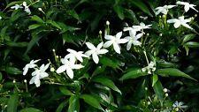 ☺4 graines rares de jasmin étoilé. TRACHELOSPERMUM JASMINOIDES