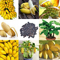100pcs Rare Dwarf Banana Tree Seeds Mini Bonsai Garden Plant Exotic Fruits TB