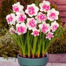 400X Charm Daffodil Seeds Spring Flower Double Narcissus Bulbs Seeds DIY Ga V0E2