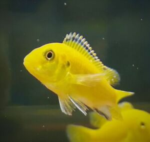 """TROPICAL FISH ELECTRIC YELLOW LAB Cichlid, 2-3"""", males and females"""