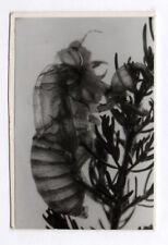 PHOTO ANCIENNE Insecte Abeille Mouche Guêpe ? Photographie scientifique 1960