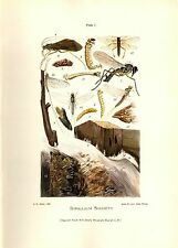 1900 Antique Joutel Aquatic Insect Print ~ you get all 7 prints Trout Food! +++