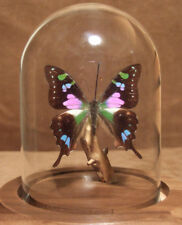 Purple Spotted Swallowtail Butterfly Dome