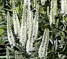 "Longleaf Speedwell (Veronica longifolia) ""Alba"" x 50 seeds"
