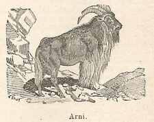 A6580 Arni (Varietà di Bufalo) - Stampa Antica del 1924 - Xilografia
