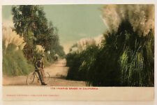 Pampas Grass In California CA Postcard - Man On Bicycle - Edward H. Mitchell