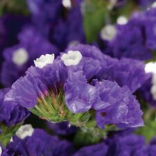 50+ Statice Purple Attraction Flower Seeds / Annual / Great Gift / Long Lasting