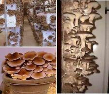 Pioppino Pilz ganzjährige exotische immergrün duftende Zimmer Pflanzen Samen