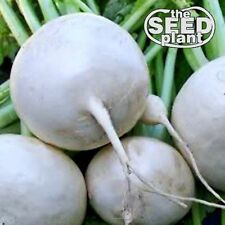 Shogoin Turnip Seeds - 1000 SEEDS-SAME DAY SHIPPING