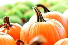 Pumpkin Seeds (25 Seeds) - Pumpkin Patch Seeds