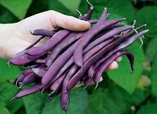Beans seeds Parpl Tipi Ukraine Heirloom Vegetable Seeds