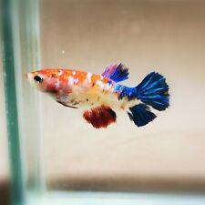 "Live Betta Fish - Female Halfmoon -""Koi Candy Fancy"" Betta High Quality (QJUL94)"
