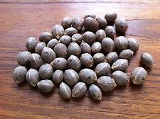 Pindo Palm Seeds  Jelly Palm Butia odorata/capitata var Strictor 50 Fresh Seeds!