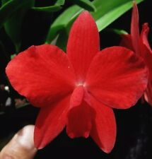 DO - Sl. Minipet, Sophronitis coccinea,  Orchid mini-cattleya, RED flowers