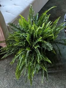 Boston Fern live plant, 10 rooted boston fern stems, fronds,air purifier,plant