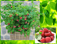 DWARF RASPBERRY PLANT! 'Ruby Beauty' thrives in patio pots! VERY RARE SEEDS.