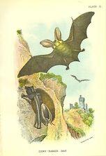 Rare 1896 Antique Mammal Print ~ The Long Eared Bat ~ Excellent Details!