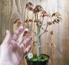 Japanese Maple Sango Kaku Live Pre Bonsai Tree Acer Palmatum Coral Bark 9 yr old