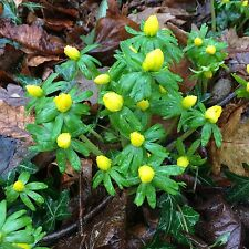 10 ENGLISH WOODLAND ACONITE BULBS Top Quality Freshly Lifted Eranthis Hyemails
