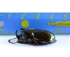 Chalcosoma caucasus, Real Atlas Rhinoceros Beetle Huge Bug 60-65mm +