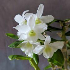 Dendrobium Angel Baby 'Love Pocket' mini hybrid orchid plant 9cm pot FS