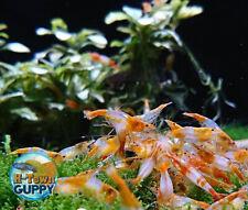 10+1 Orange Rili - Freshwater Neocaridina Aquarium Shrimp. Live Guarantee