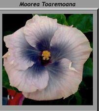 1 bouture hibiscus cutting TOAREMOANA