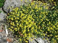 100 Green Gold Bupleurum Hares Tail Thoro Wax Flower Seeds + Gift & Comb S/H