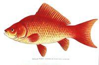 1904-1906 RARE Antique DENTON FISH Print GOLD FISH Carassius auratus CHROMO Nice