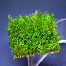 "Flame Moss Pad 3"" x 3"" - Live Aquarium Water Plants Low Light Java Fish Tank"