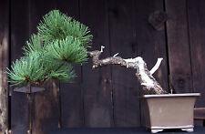 Bonsai Tree Specimen Ponderosa Pine by artist John Wall Ppst-705