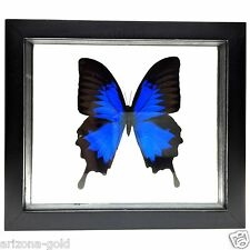 REAL BUTTERFLY Framed Papilio Ulysses Amazon Jungle Peru FREE USA SHIPPING