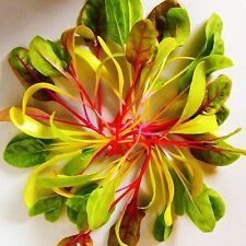 CHARD - BRIGHT LIGHTS - 240 seeds [..for BabyChards/MicroGreens/Leaves & Stalks]