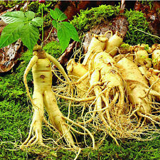 50pcs Chinese / Korean Panax Ginseng Seeds Asian Rare Wild Planting Nutrition