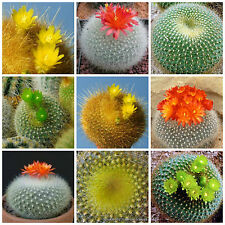 20 semi in miscuglio di Brasilicactus mix ,piante grasse,seed cactus mix