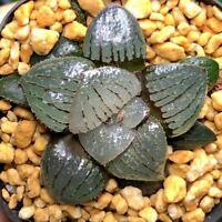 1-cut 5cm Cantaloupe Haworthia Comptioniana Succulent live Plant Home Garden pot